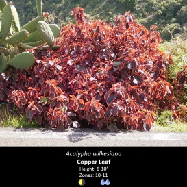 acalypha_wilkesiana_copper_leaf