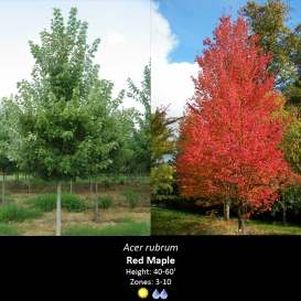 acer_rubrum_red_maple