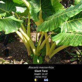 alocasia_macrorrhiza_giant_taro