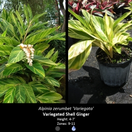alpinia_zerumbet_variegata_shell_ginger