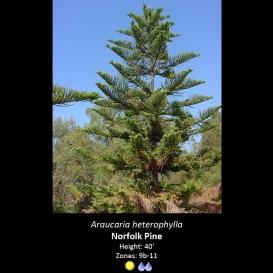 araucaria_heterophylla_norfolk_pine