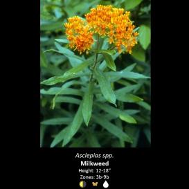 asclepias_spp-_mikweed