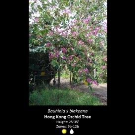 bauhinia_x_blakeana_hong_kong_orchid