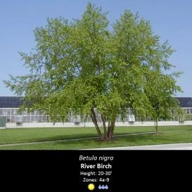betula_nigra_river_birch