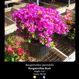 bougainvillea_spectabilis