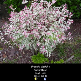 breynia_disticha_snow_bush