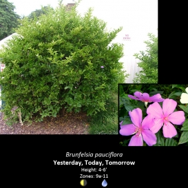 brunfelsia_pauciflora_yesterday_today_and_tomorrow