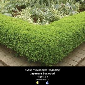 buxus_microphylla_japanese_boxwood