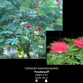 calliandra_haematocephala_powderpuff