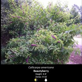 callicarpa_americana_beauty_berry