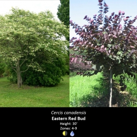 cercis_canadensis_eastern_red_bud