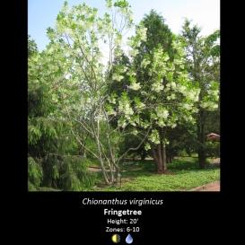 chionanthus_virginicus_fringetree