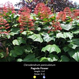 clerodendrum_paniculatum_pagoda_flower