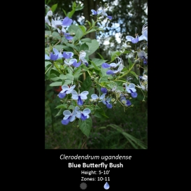 clerodendrum_ugandense_butterfly_bush