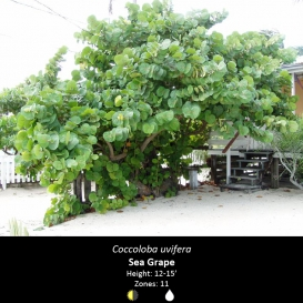 coccoloba_uvifera_sea_grape