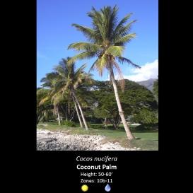 cocos_nucifera_coconut