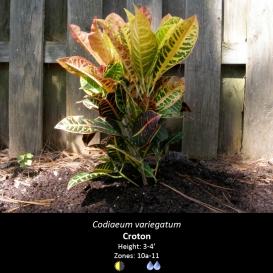 codiaeum_variegatum_croton