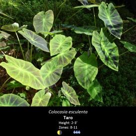 colocasia_esculenta_taro