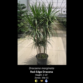 copy_of_dracaena_marginata_red_edge_dracaena