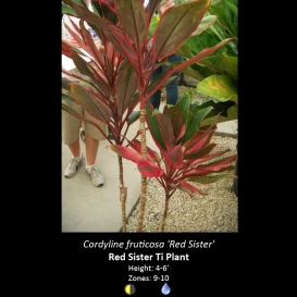 cordyline_fruticosa_red_sister
