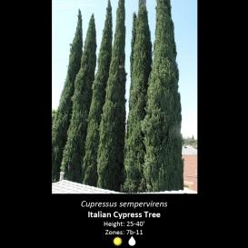cupressus_sempervirens_italian_cypress
