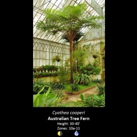 cyathea_cooperi_australian_tree_fern