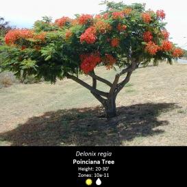 delonix_regia_poinciana