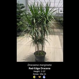 dracaena_marginata_red_edge_dracaena