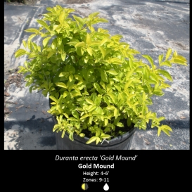 duranta_erecta_gold_mound