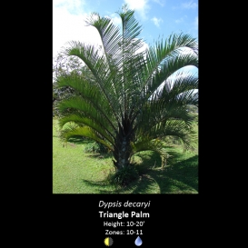 dypsis_decaryi_triangle