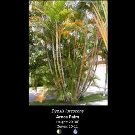 dypsis_lutescens_areca