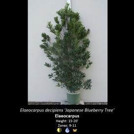 elaeocarpus_decipiens_japanese_blueberry_tree