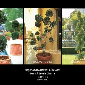 eugenia_myrtifolia_globulus