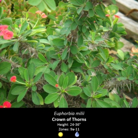 euphorbia_milii_crown_of_thorns