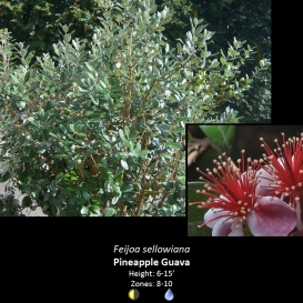 feijoa_sellowiana_pineapple_guava
