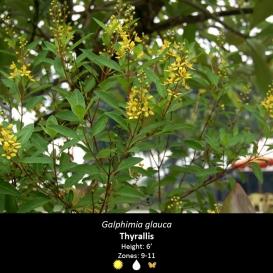 galphimia_glauca_thyrallis