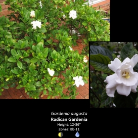 gardenia_augusta_radican_gardenia