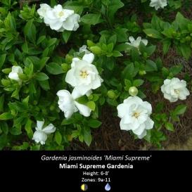 gardenia_jasminoides_miami_supreme