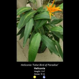 heliconia_false_bird_of_paradise