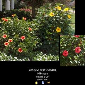hibiscus_rosa_sinensis