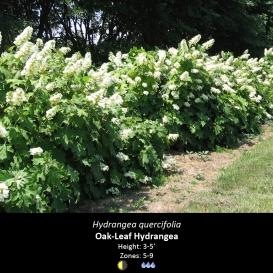hydrangea_quercifolia_oakleaf