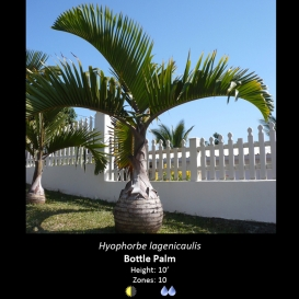 hyophorbe_lagenicaulis_bottle