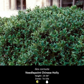 ilex_cornuta_needle_point_chinese_holly