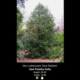 ilex_x_attenuata_east_palatka