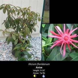 illicium_floridanum_anise