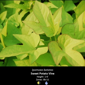 ipomoea_batatas_sweet_potato_vine