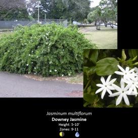 jasminum_multiflorum_downey_jasmine