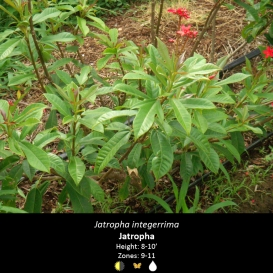 jatropha_integerrima