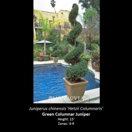 juniperus_chinensis_hetzii_columnaris
