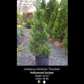 juniperus_chinensis_hollywood_juniper